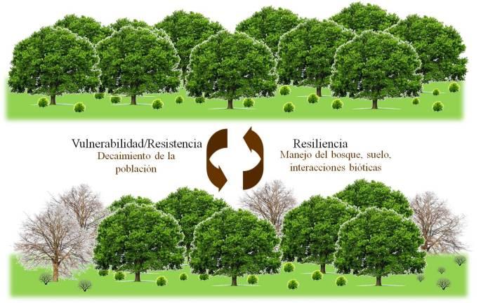 Efectos de un periodo de sequía extrema sobre un ecosistema forestal. Los efectos de la sequía provocan el decaimiento masivo de la población, pero la intensidad del efecto se ve influenciado por la vulnerabilidad de la población. Al cesar la etapa, el bosque puede recuperar su estadio anterior, esta capacidad es la resiliencia.