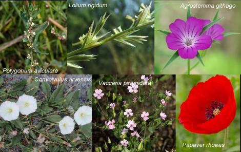 composición flora arvense