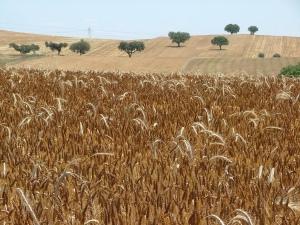 Moitas Moitas. campos de trigo 2009