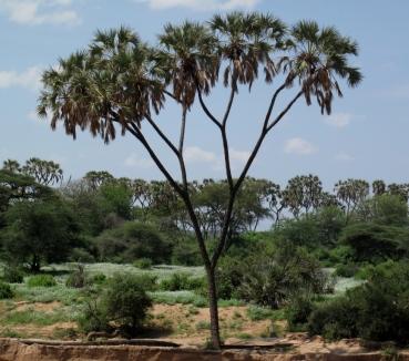 Palma Dum (Hyphaene compressa). Samburu, Kenia. Forografía: Rocio Fernandez Ales
