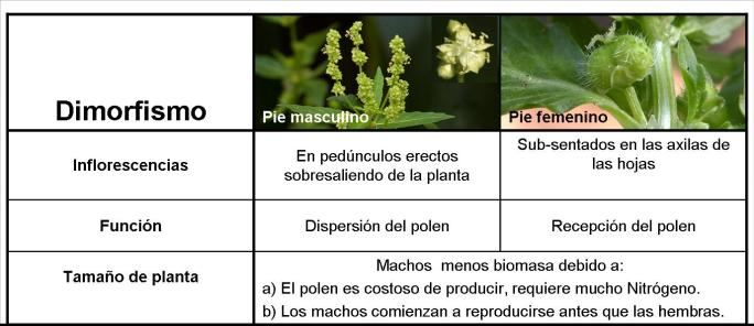 Dimorfismo sexual en Mercurialis annua