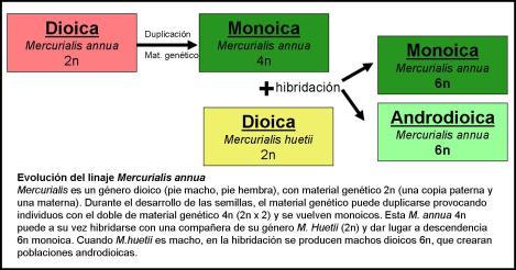 Evolución de los linages de Mercurialis annua.