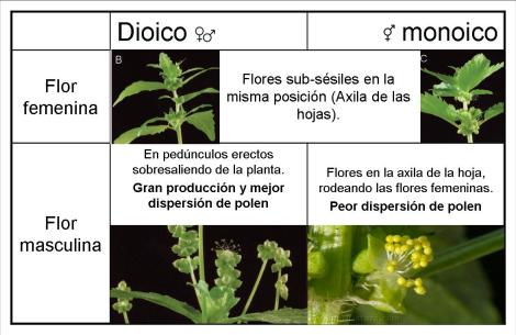 Morfología de las flores femeninas y masculinas para las estrategias monoica y dioica de Mercurialis annua.