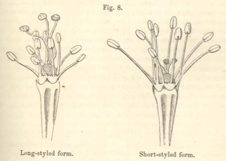 "Ilustración extraida del libro ""The different forms of flowers on plants of the same species"", Charles darwin (1877)"