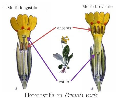 heterostilia primula veris