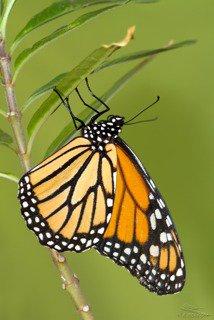 Mariposa monarca (Danaus plexippus). Fotografía Rafael Obregón