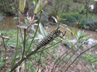 Oruga de monarca devorando el brote terminal de Asclepias curassavica. Fotografía: Juan Fernandez Haeger
