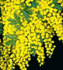 Acacia dealbata, una mimosa australiana muy invasora.