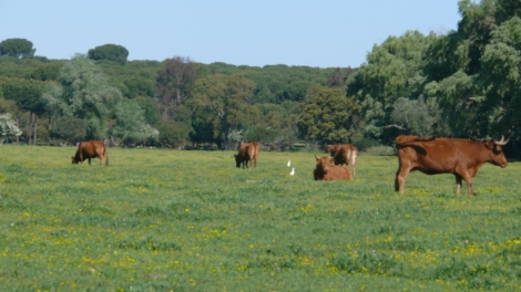 Vacas retintas pastando en la dehesa de Gatos, Villamanrique. Foto: Angel Martín