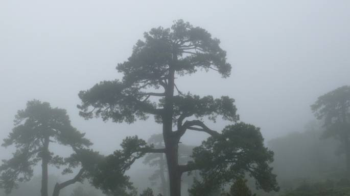Pinus nigra cazorla