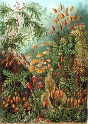 plantas haeckel